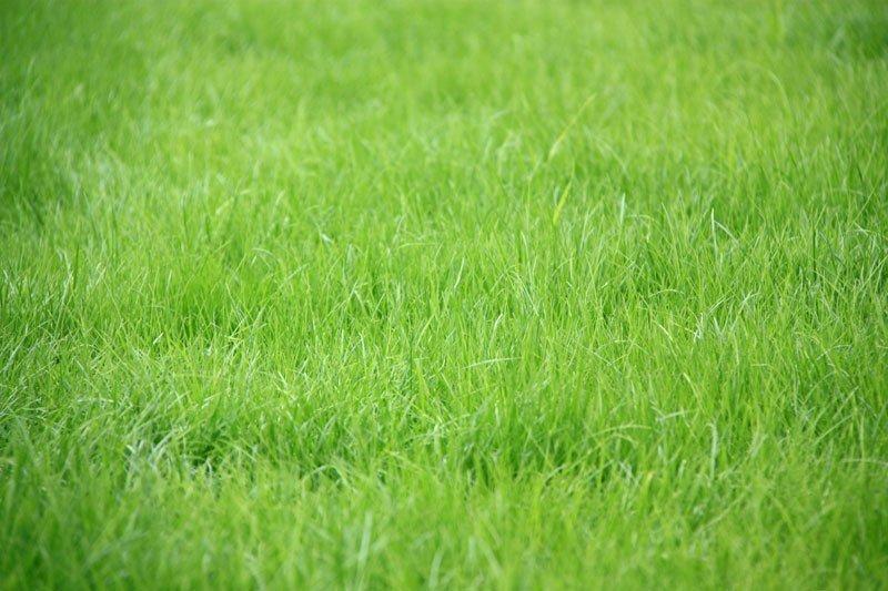 """Газонная трава """"Лилипут"""""""