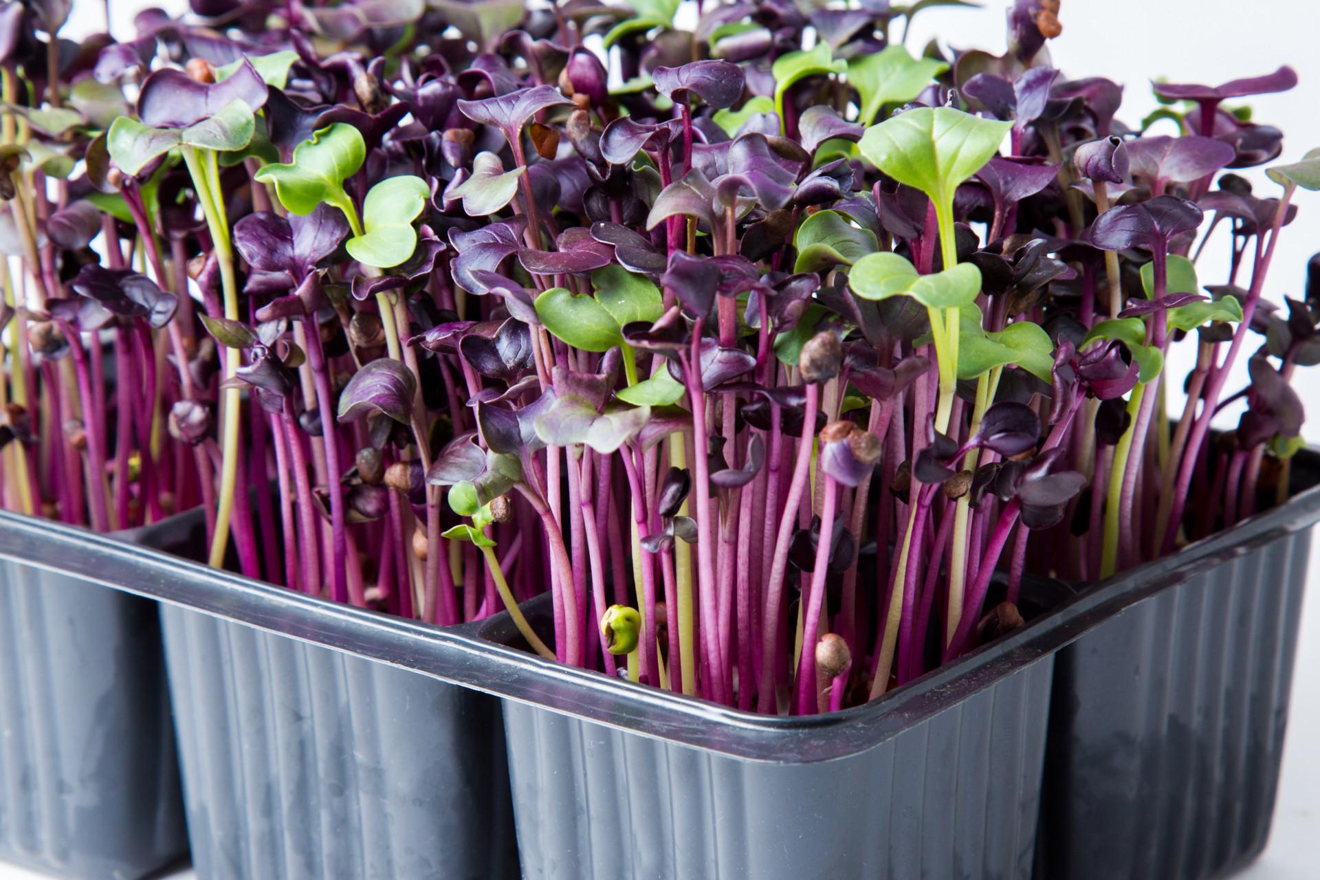 Выращивание микрозелень 16